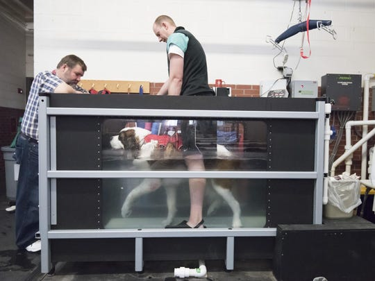 Dr. Christopher Frye helps Winston, an 8.5 year old St. Bernard owned by Steve Czarnecki, left, walk on an underwater treadmill to help strengthen the dog's joints and muscles.