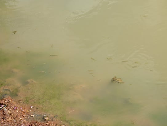 """A group of invasive """"mosquito fish"""" swim in the artificial"""