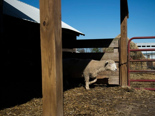 A sheep walks out from the shade on site at Little Hooves farm Tuesday, Oct. 31, 2017 in Moorestown, New Jersey. The sheep farm is home to nearly 300 sheep and is the largest in South Jersey.