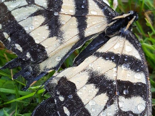 636562029936548436-butterfly.jpg
