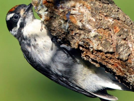 Two drops of sap are suspended against the backdrop of an immature male Hairy Woodpecker. He possess feet with four toes, the first and the fourth facing backward and the second and third facing forward. That arrangement is good for grasping the limbs and trunks of trees