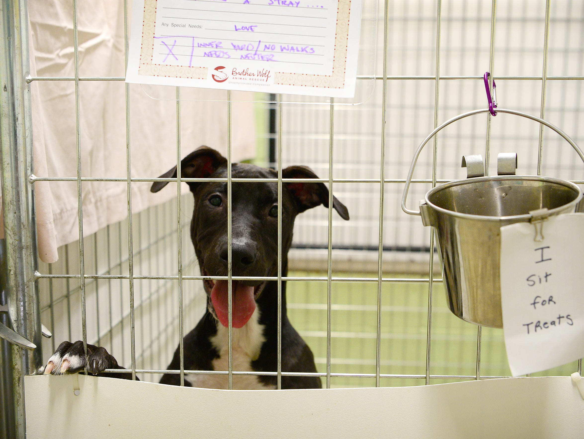 Crowly, a dog available for adoption, leaps up onto