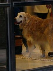 Bretagne, the last surviving search and rescue dog