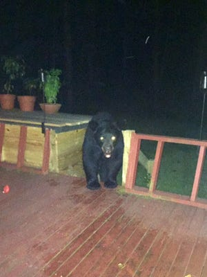 During one of several visits on Sept. 1 to the New Buffalo home of Max Luna, a black bear walks onto the back patio of the home.