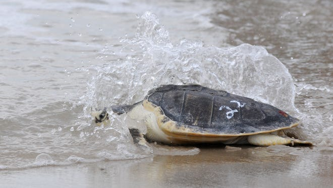 """""""Iceman"""" reaches the surf as the turtle makes it's way into the Atlantic Saturday morning at Assateague State Park."""