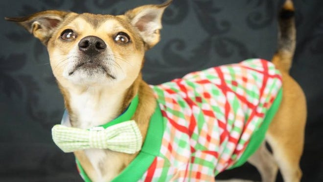 Bandit will be available for adoption during a one-day adoption event from 6 to 8 p.m. at OHSO Eatery in Phoenix on Dec. 3