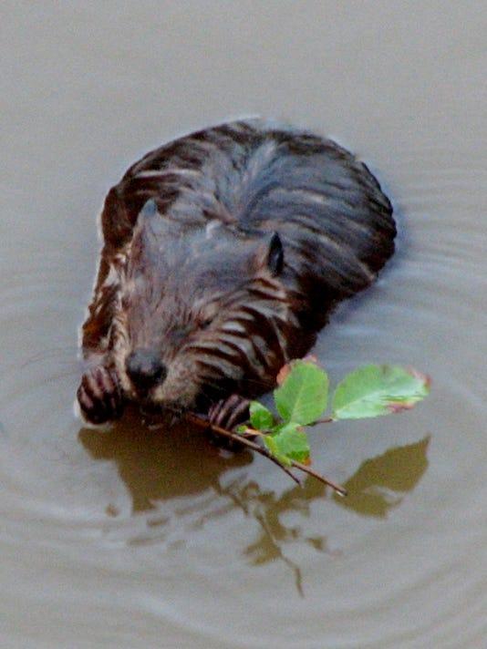 Gilbert the veaver