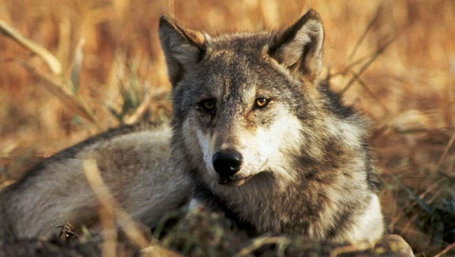 Wildlife officials say a gray wolf, like the wolf pictured, killed a llama in Union County.
