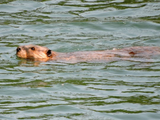A beaver swims in a flooded creek downstream from its