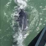 Ahoy! Whale bumps into Ocean City Fishing Pier