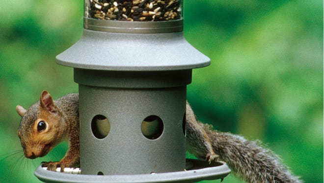 A squirrel attempting to eat seed on an Eliminator, a squirrel-proof bird feeder. It protects bird seed from squirrels by registering the weight of the intruder.