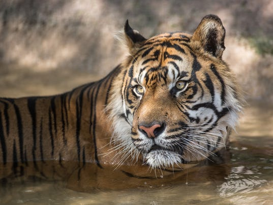 Jai, a male tiger relaxes in the water after finishing a treat of of blood/fish-sicle while staying cool at the Phoenix Zoo on Thursday, July 24th, 2014.
