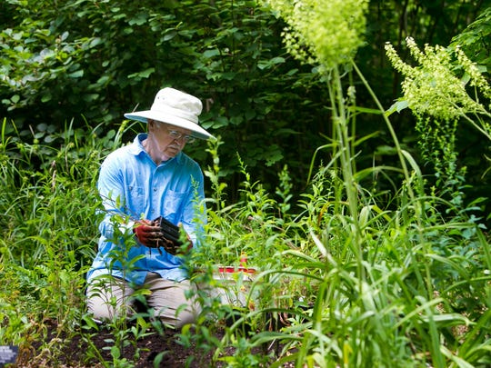Meadow horticulturalist, David Korbonits, plants Bluebird Aster on the grounds of Mt. Cuba Center in Hockessin.