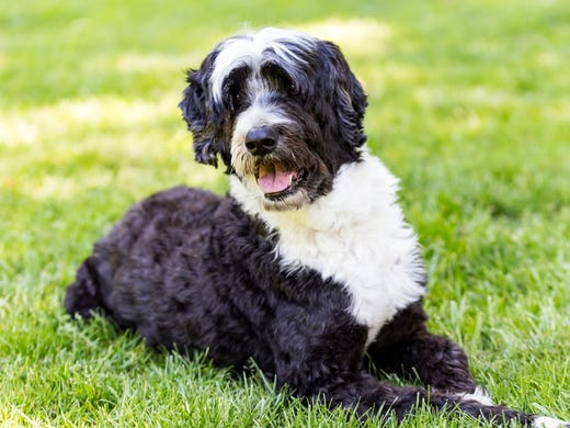 54. Portuguese Water Dogs • 2016 rank: 51 • 2007 rank: