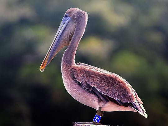 A young Brown pelican with its identification band