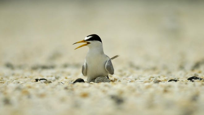 A least tern sits on her eggs in this 2006 photo taken at Satellite Beach. Least Terns had taken up residence on the roof of the Satellite Beach Post Office. Usually, they nest on the beach.