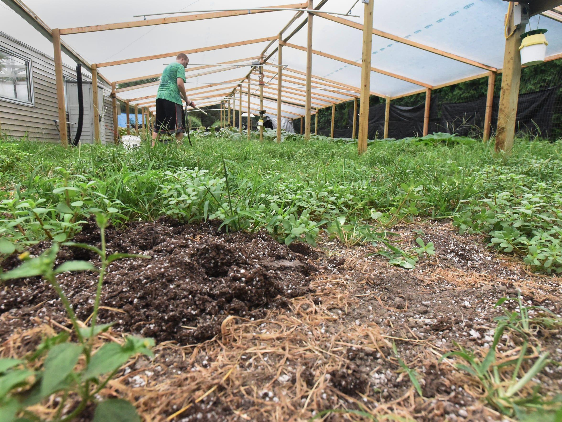 Rusty Ortman lost two of his pumpkin plants in June.