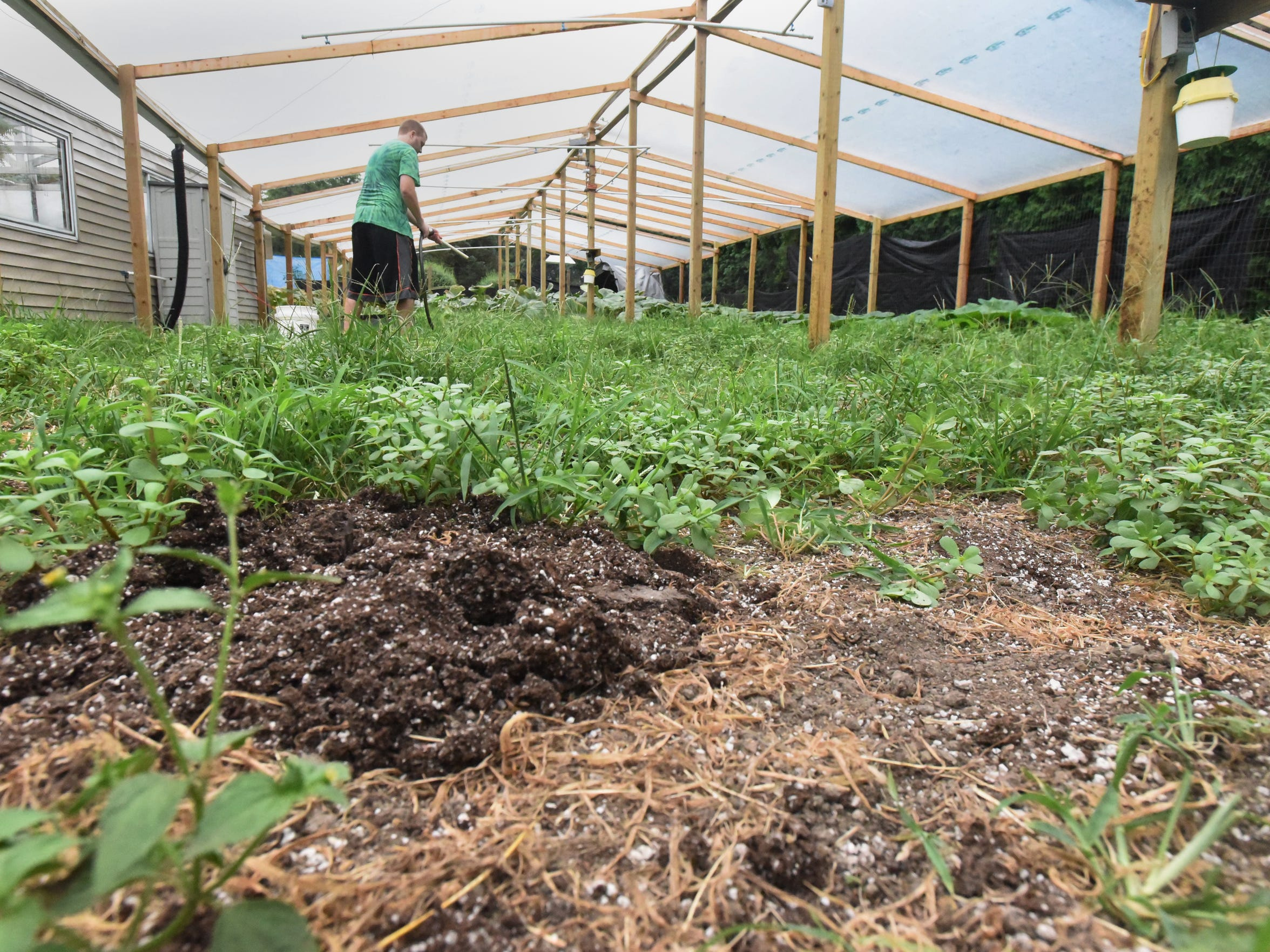 Rusty Ortman lost two of his pumpkin plants in June. One plant had a mutation and wouldn't grow a pumpkin and another kept losing the pumpkins that would start. In the end, Ortman pulled both plants out of the ground and focused on his last two.