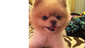FEB. 25 – Samson is a 7-year-old Pomeranian who lives