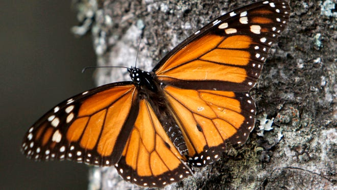 Under HB 5560: Designate the monarch butterfly as the official state insect. Sponsor: Rep. Aric Nesbitt, R-Lawton.