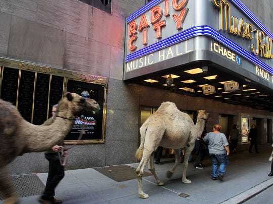 Camels arrive at Radio City Music Hall for the blessing of the animals.