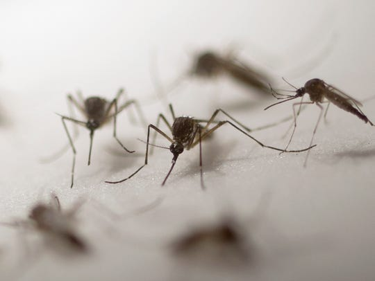 Aedes aegypti mosquito specimens studied in Immo Hansen's