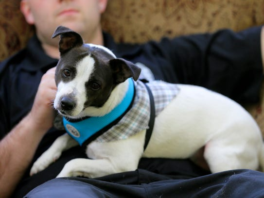 Rambo, a 4-year-old Jack Russell Terrier plays with