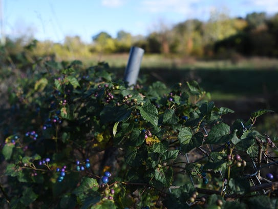 A vine with fruit grows across a fence separating the