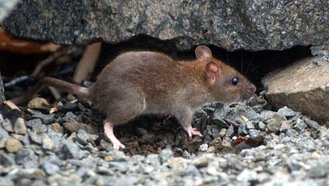 A 2005 file photo of a rat.