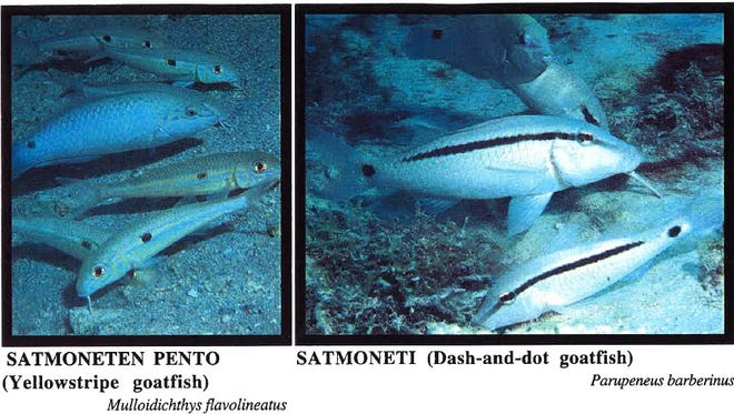 These juvenile goatfish can be harvested for a limited time on Guam under certain conditions.