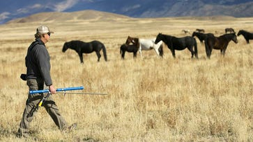 Jim Schnepel, who works with the Wild Horses of America Foundation, uses an air gun to deliver a dose of the fertility drug PZP to a horse in the Onaqui Herd in Utah. The process is slow and deliberate.