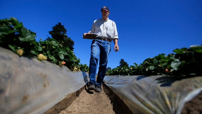 File - This April 7, 2014, file photo shows Douglas Shaw, a UC Davis plant science professor walking through strawberry fields in Watsonville, Calif. Jurors have sided with a California research university in its dispute with a renowned plant scientist credited with developing tasty strawberries as a professor there. Jurors in a San Francisco federal court said Wednesday, May 24, 2017, that professor Shaw broke the law when he and his research partner tried to profit from their work in a company they formed.