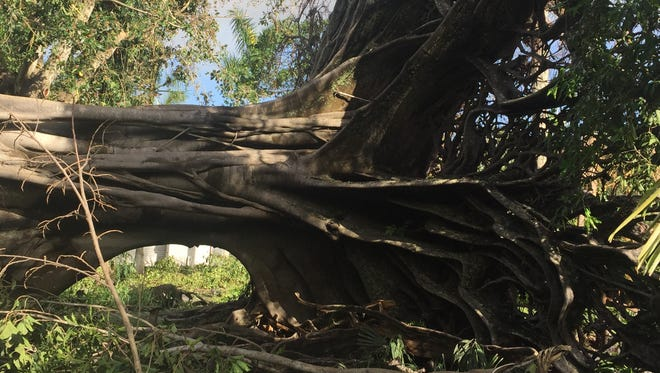 The uprooted fig tree at the Edison & Ford Winter Estates in Fort Myers.