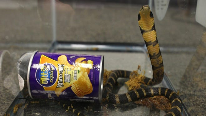 An undated handout photo made available by the US Attorney LA shows a live king cobra snake rearing next to a potato chip package after being seized from a package that was en route to the home of a man in Monterrey Park, California.