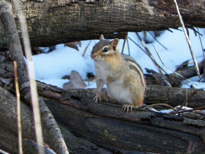 The first chipmunk of the spring spotted in the Marshfield