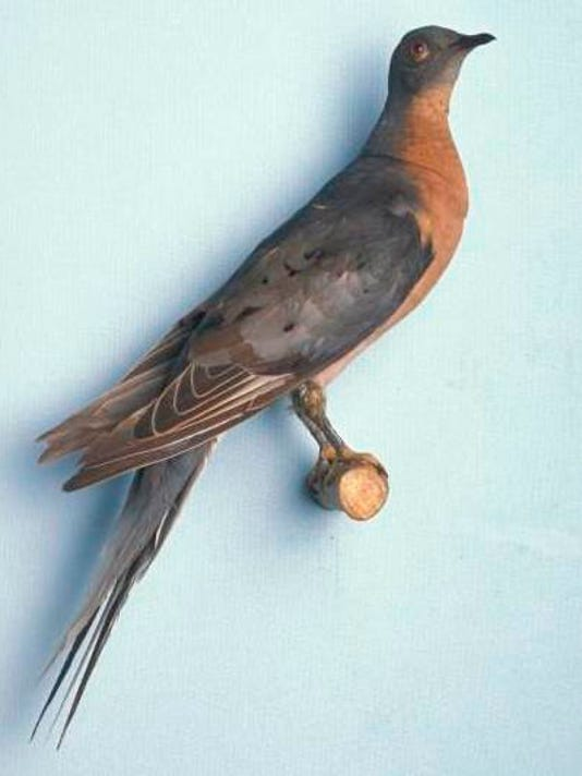 passenger_pigeon.jpg1.jpg