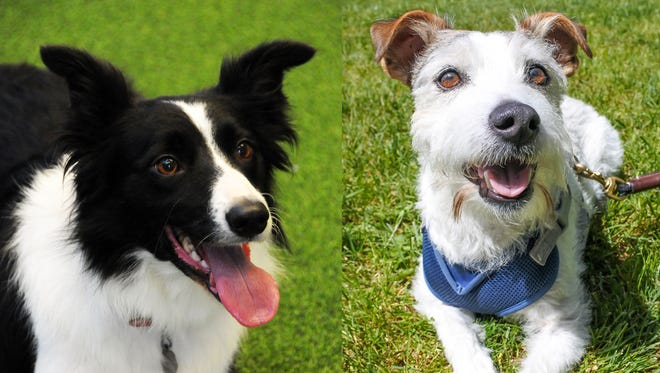 A rescued shelter dog and Border collie may go head-to-head for the title of state dog.