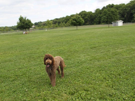 Jeter, a 2-year-old Golden Doodle, soaks in the sun at the Thornberry Off-Leash Dog Park on Monday, July 20, 2015.