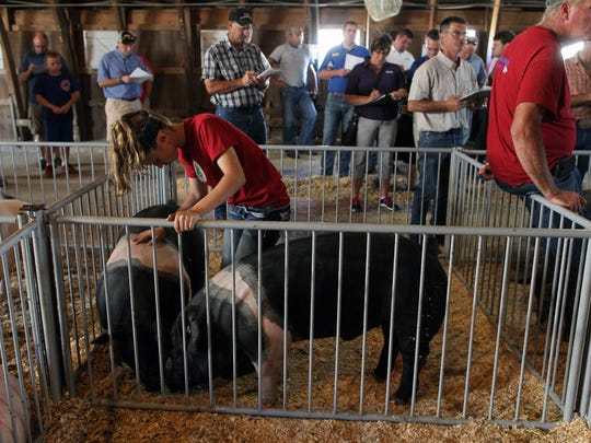 Olivia Schultes of West Branch prepares her swine for auction at the Johnson County Fairgrounds on Friday.