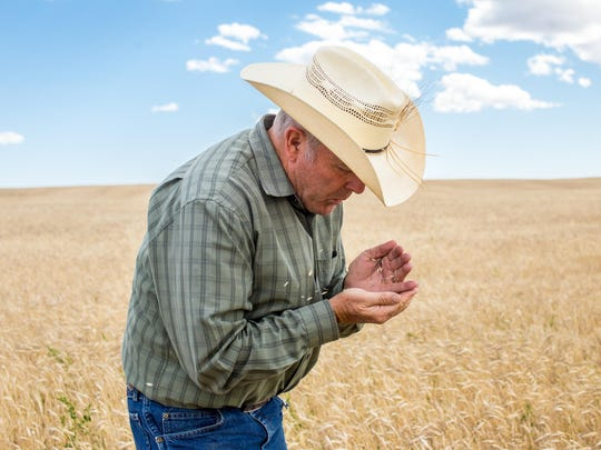 Organic farmer, Bob Quinn, blows chaff from Kamut growing on farm outside of Big Sandy on Thursday. Quinn began planting Kamut more than 30 years ago and has found many uses for the ancient grain, from bread to Kracklin' Kamut.