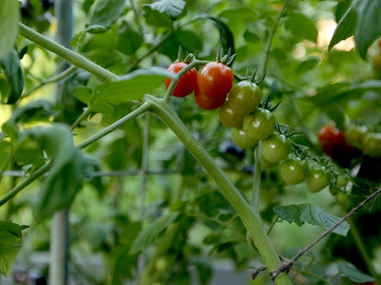 Tomatoes ripen in the therapeutic community garden Ericka Crane, a registered nurse, helped to start at Our House of Portland, a resource and residence for people living with HIV/AIDS. Photographed in Portland on Wednesday, Aug. 12, 2015.