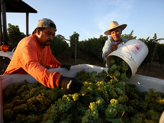 Eola Hills Wine Cellars employees Jose Mendez, left, and Eduardo Lue harvest Chardonnay grapes from the winery's Wolf Hill Vineyard for use in Sparkling wine on Wednesday, Aug. 26, 2015, west of Salem, Ore.