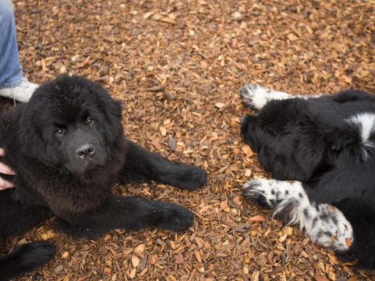 Shellbea (right) and six-month-old Olga (left) lie down after spending some time at a nearby park in Hubbard on Saturday. Shellbea and Olga are two of the eight Newfoundlands owned by Marion County resident Becky Davis, who is campaigning to make the breed the state dog of Oregon.