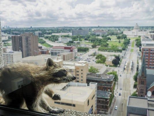 Stranded Raccoon (2)