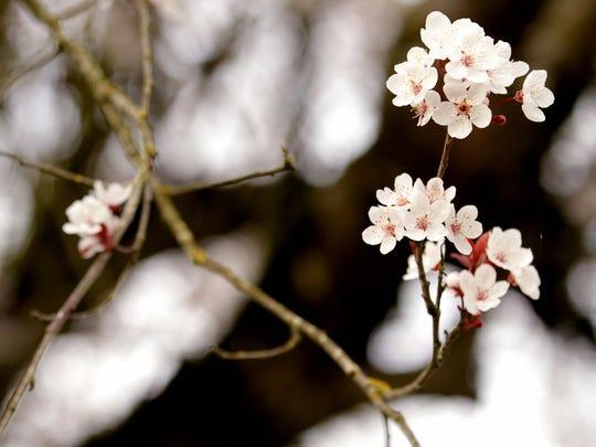 Allergy season has begun as cherry blossom trees begin to bloom near Pringle Creek in Salem on Tuesday, Feb. 24, 2015.