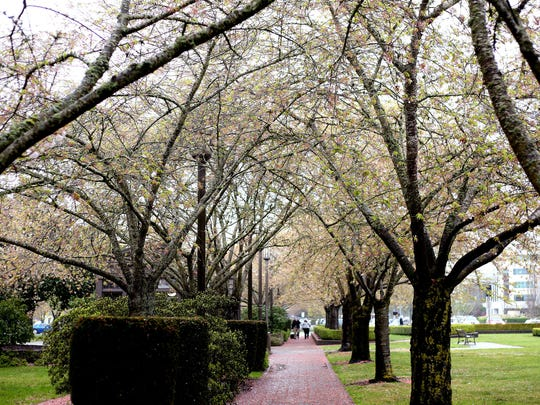 The cherry blossom trees at the Oregon State Capitol