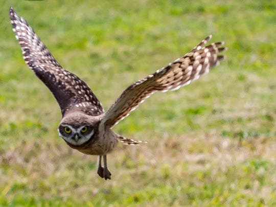 Wide wings. The burrowing owls of Marco Island.