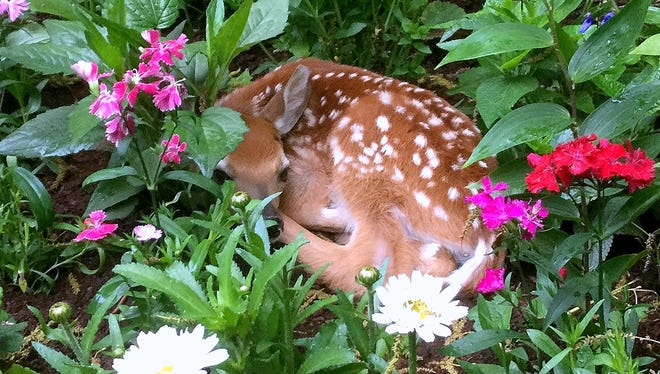 Lori Wheet of West Elmira discovered this newborn fawn in her garden Monday.