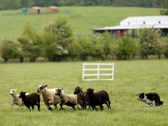 Maxie, a 7-year-old border collie, herds sheep before the 81st annual running of the Northwest Championship Sheepdog Trial at Wolston Farm in Scio on Thursday, May 17, 2018. The Sheepdog Trial has competitions on Friday, Saturday and Sunday in Scio.
