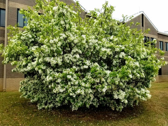Generous blooms of China Snow fringetree breathes fragrance